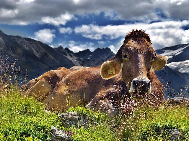 Verhalten in den Bergen:Kuhattacke!
